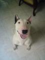Hermoso Bull Terrier Para Monta Muy Sano  y Muy Bello !!!