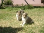 cachorros pastor collie