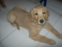 vendo hermosa hembra golden retriver pura