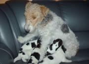 vendo cachorros fox terrier
