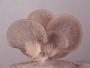 Cultivo de hongos comestibles (Orellanas)  CURSO TEÓRICO - PRÁCTICO