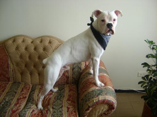 Perro boxer albino busca perra para monta