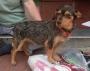 Perrito Chiquitin busca hogar que lo adopte