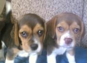 beagles hermosos cachorritos