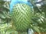 Vendo Deliciosa Pulpa de Guanabana