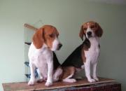 Vendo pareja de perros beagle adultos  listos para reproducion