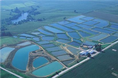 Fotos de Asesoria asesoria cria cultivo peces peces  1
