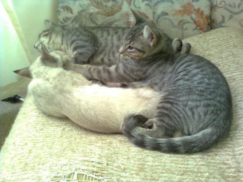 Adopta gatitos de tres meses