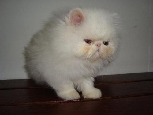 Gatos persa hermosos!!