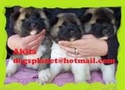 Akita cachorros en venta criadero akita colombia akita cachorros