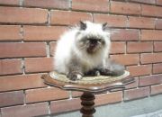 Criadero familiar de gatos y gatitos persas e himalayos