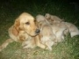 Vendo Linda Golden Retriever pura de 3 meses