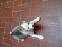 Vendo Perro Siberian Husky de 3 meses Muy Bonita