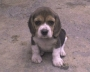 VENDO HERMOSOS CACHORRITOS BEAGLES TRICOLOR A SOLO 270.000 NEGOCIABLES 4828738