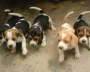 VENDO HERMOSOS CACHORRITOS BEAGLES TRICOLOR A SOLO 250.000 NEGOCIABLES 4828738