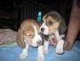venta de 2 hermosos cachorros beagle chocolate y tricolor