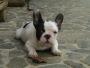 Bulldog Frances ... Criadero Capricho Kennel