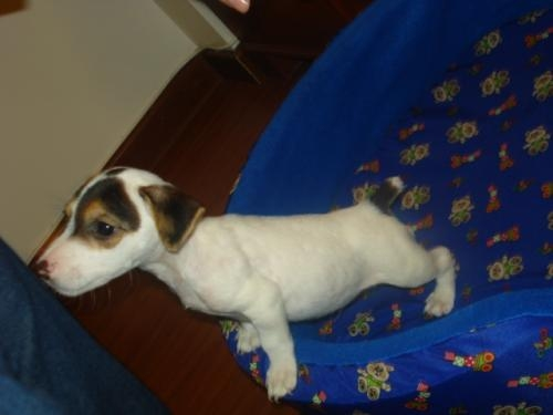 Hermoso jack russell terrier