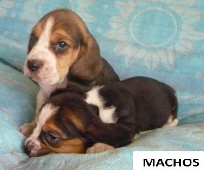 Hermosos cachorros beagles