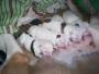 cachorros bul terrier nacidos el 22 de junio del 2010
