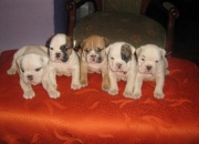vendo hermosos cacachorros bulldog ingles