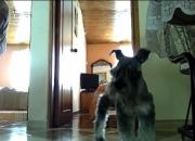 Vendo hermosos cachorros schnauzer miniatura 3214344563