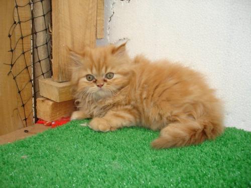 Vendo gatos persa puros