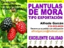 PLÁNTULAS DE MORA DE CASTILLA SEMILLA y PLANTAS EN VIVERO para EXPORTACIÓN