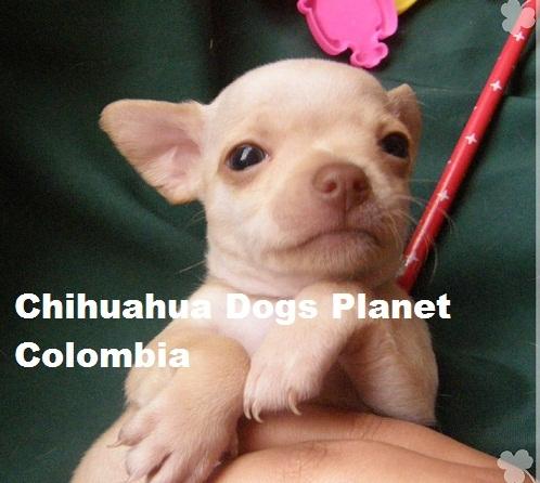 ™'cachorro chihuahua criadero colombia chiguaguas venta ♂312 3781314