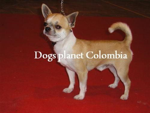 Fotos de ™'cachorro chihuahua criadero colombia chiguaguas venta ♂312 3781314 4