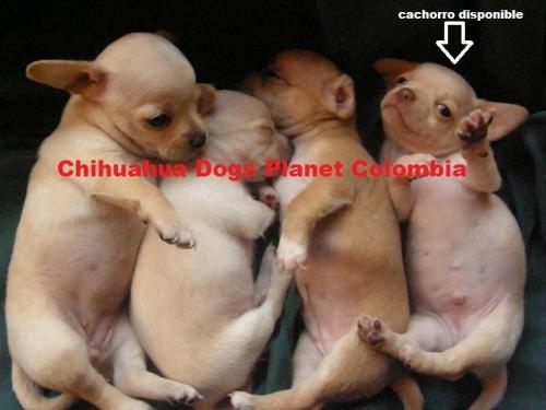 Fotos de ™'cachorro chihuahua criadero colombia chiguaguas venta ♂312 3781314 2
