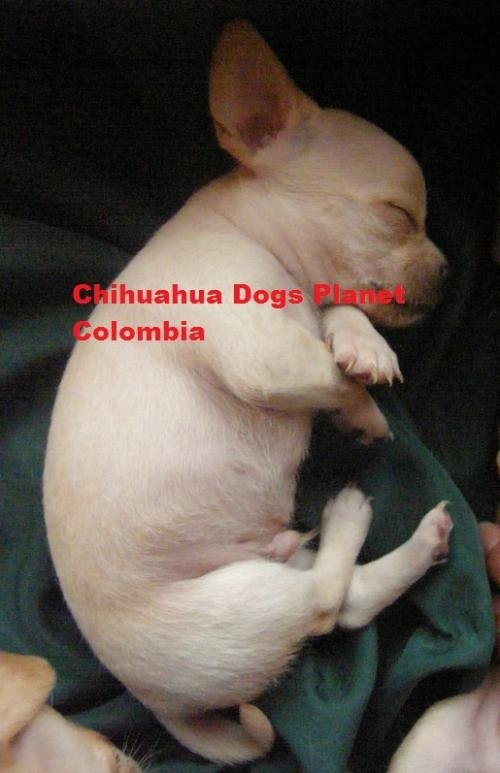 Fotos de ™'cachorro chihuahua criadero colombia chiguaguas venta ♂312 3781314 3