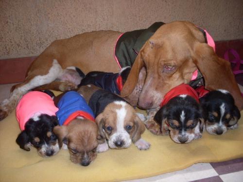 Basset hound espectacular raza