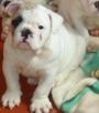 vendo hermosos cachorros  bulldog ingles