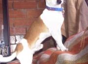 Chihuahua para monta en Bogotá
