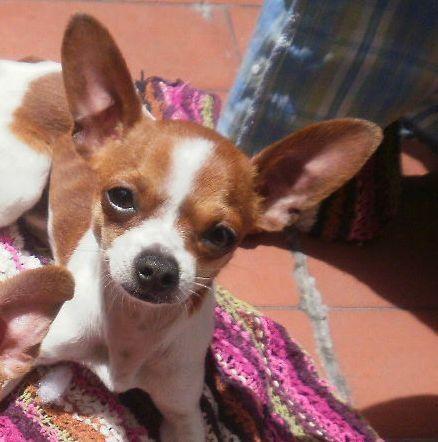 Fotos de Chihuahua para monta en bogotá 3
