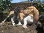 basset hound buscas un cachorrito vivas