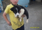 Vendo Hermosa cachorra border collie raza pura
