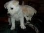 Hemosos Cachorros SAMOYEDO pura raza a la venta en Bogotá