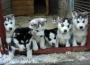 Husky cachorros disponibles ahora