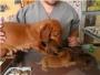 basset hound , teckel, pug, beagles, bull dog