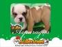 La navidad se celebra con BULLCANES los Bulldog Más lindos!