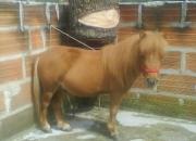 Ccabalo mini poni 70cm d alzada unico alazan 3016039501