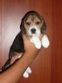 Vendo hermosa beagle económica