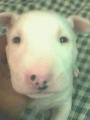 Vendo Bull Terrier De 30 Dias 100% Puro