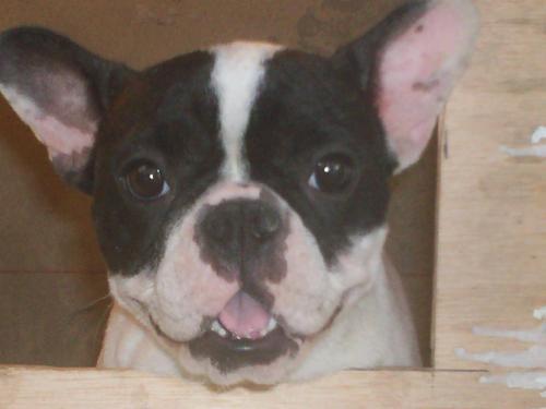 Fotos de Se venden hermosos bulldog frances 1.200.000 $ negociables 4