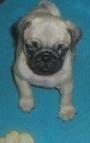 vendo hermosa cachora pug carlino vacunada y desparasitada