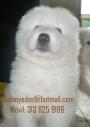 Elije a un Samoyedo! Los cachorros más hermosos, cariñosos, amigables, fieles..etc
