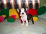 BOSTON TERRIER FARES CAN VENDE