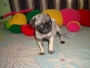 PUG CHINOS FARES CAN VENDE